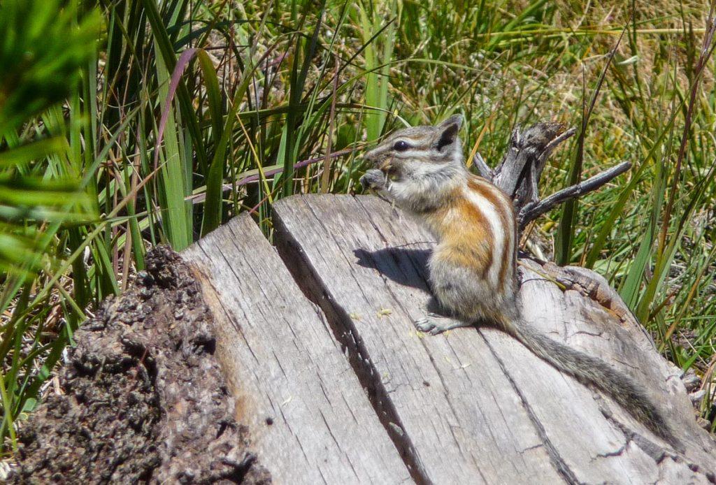 Chipmunk, John Muir Trail
