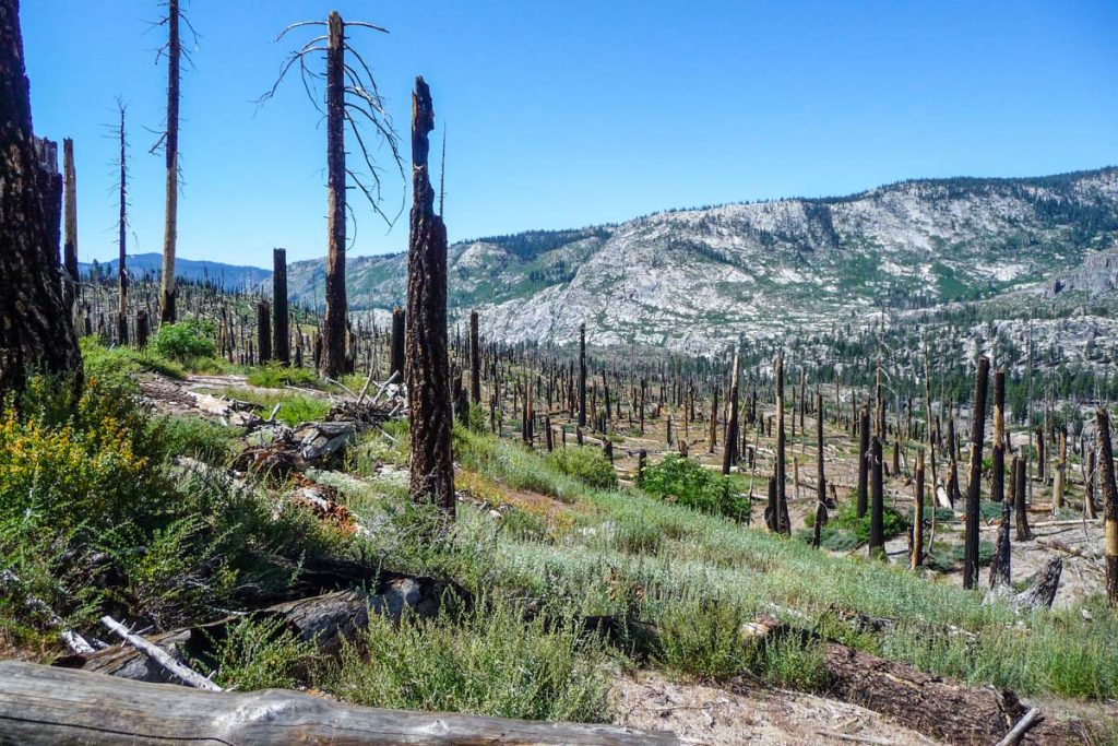 Burnt trees close to Reds Meadow