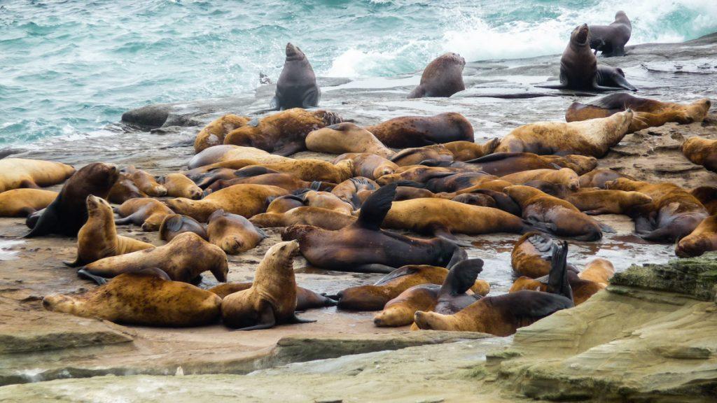 Sea Lions, West Coast Trail