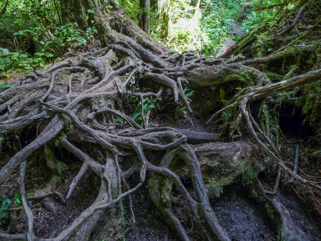 Root climbing, West Coast Trail