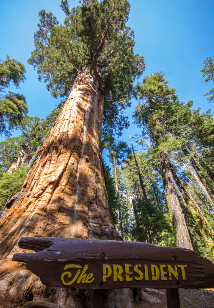 The President Tree - Sequoia National Park