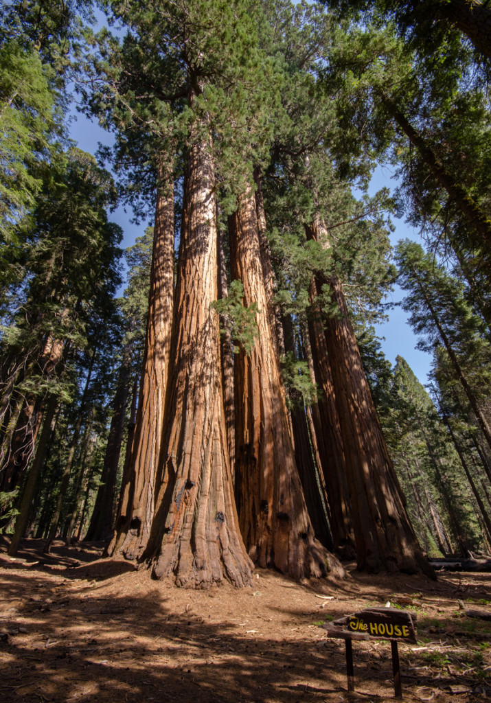 The House Trees - Sequoia National Park