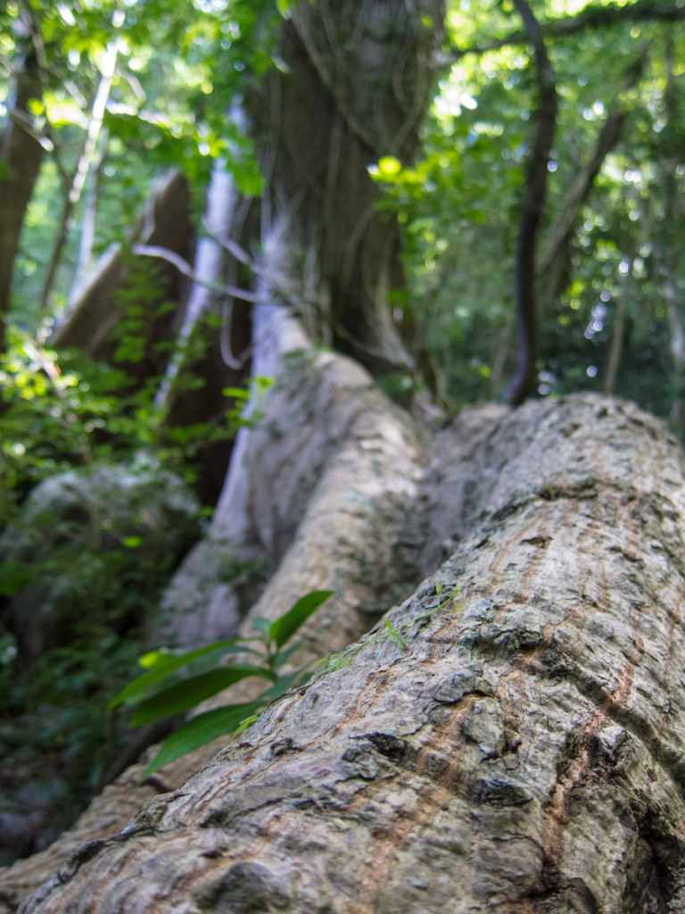 Large tree roots on the Waitukubuli National Trail