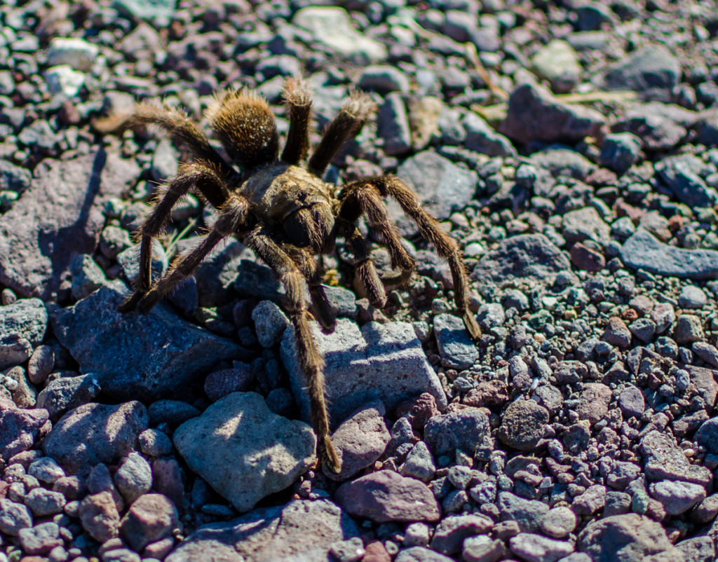 Tarantula, Baja California