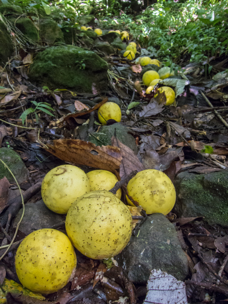 Fallen grapefruit, Waitukubuli National Trail