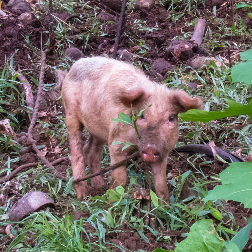 Pig, Segment 5, Waitukubuli National Trail