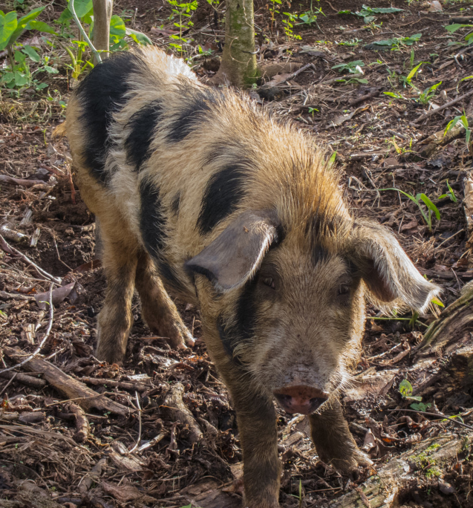 Pig on the Waitukubuli National Trail