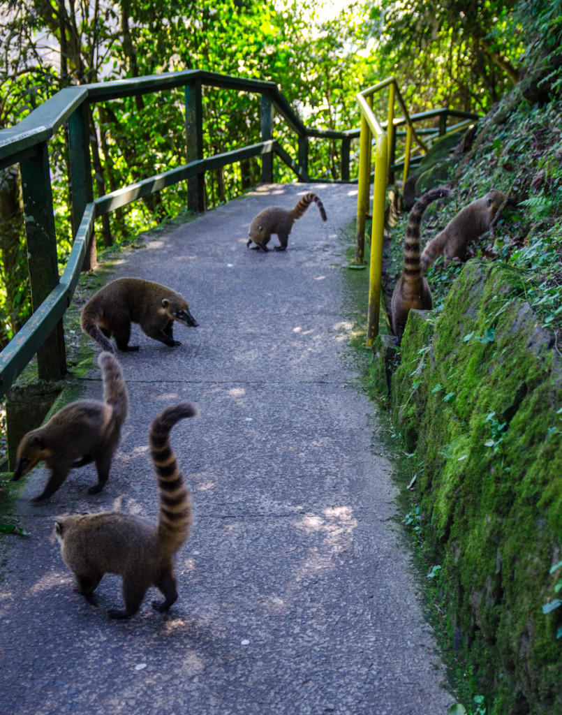 Coatis in Parque National do Iguaçu