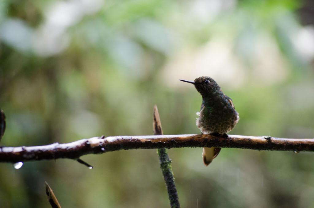 Hummingbird, Valle de Cocora