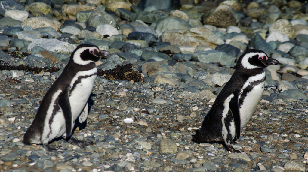 Penguins at Isla Magdalena, Chile