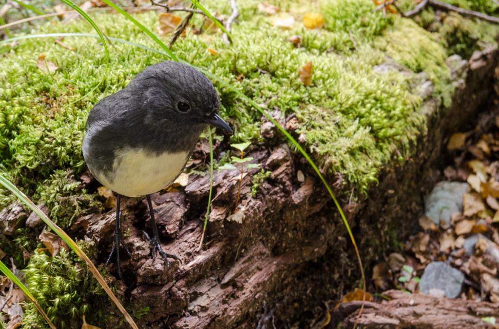 Bird on Routeburn Track