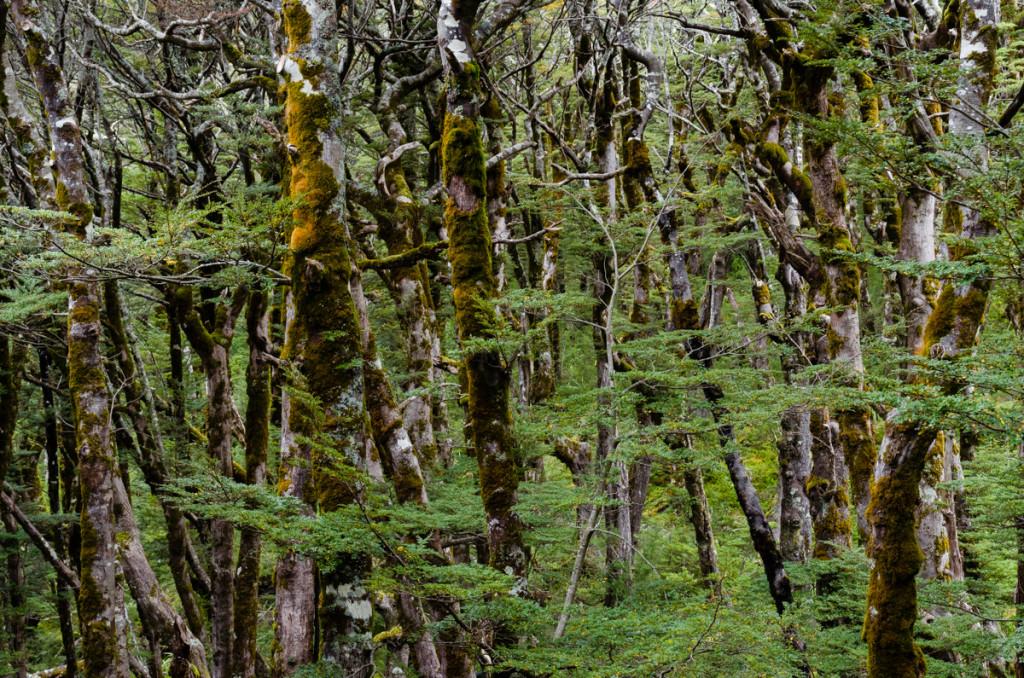 Trees around Routeburn Falls Hut