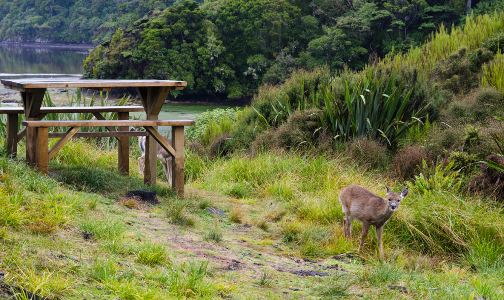 Deers by North Arm Hut, Rakiura Track