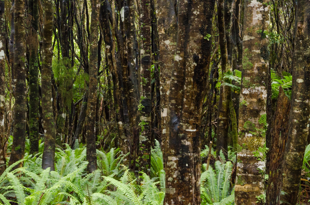 Forest, Rakiura Track