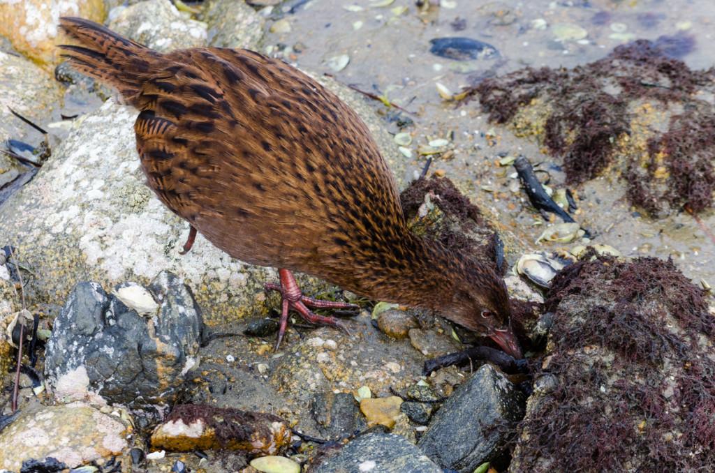 Weka, Ulva Island, New Zealand