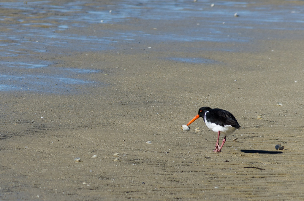 An oystercatcher bird, Torrent Bay