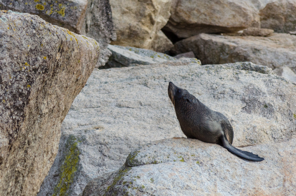 Fur seal at Separation Point, Abel Tasman Coast Track