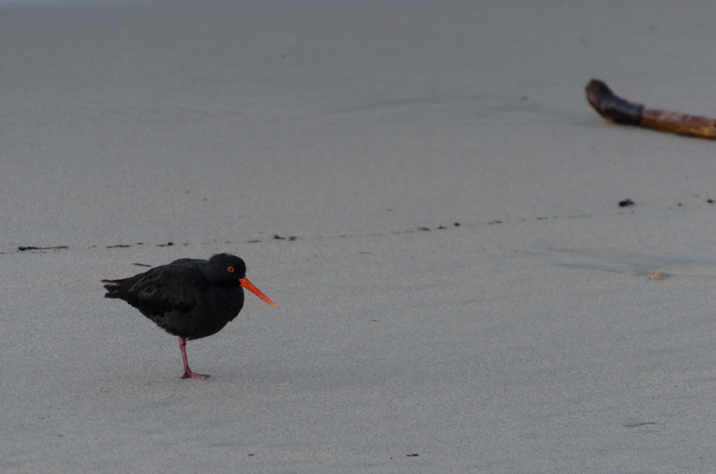 Oystercatcher close to Heaphy River mouth