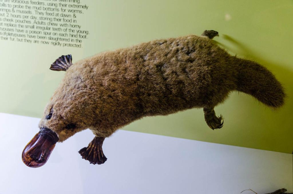 Playtipus, Western Australian Museum, Perth