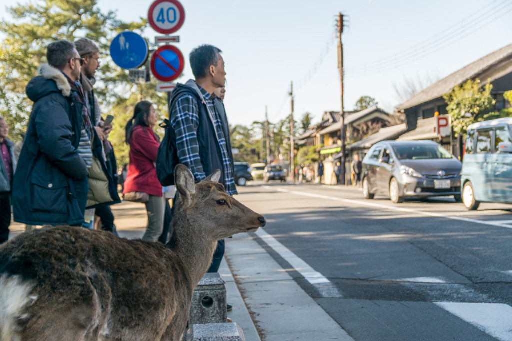 Deer waiting to cross the street, Nara