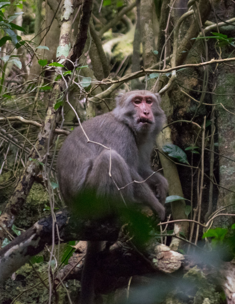 Monkey, Kenting Forest Recreation Area