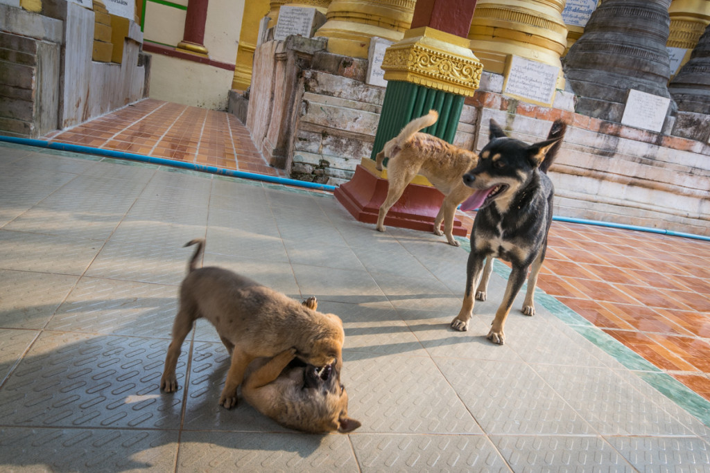 Dogs playing at Indein Village, Mynamar