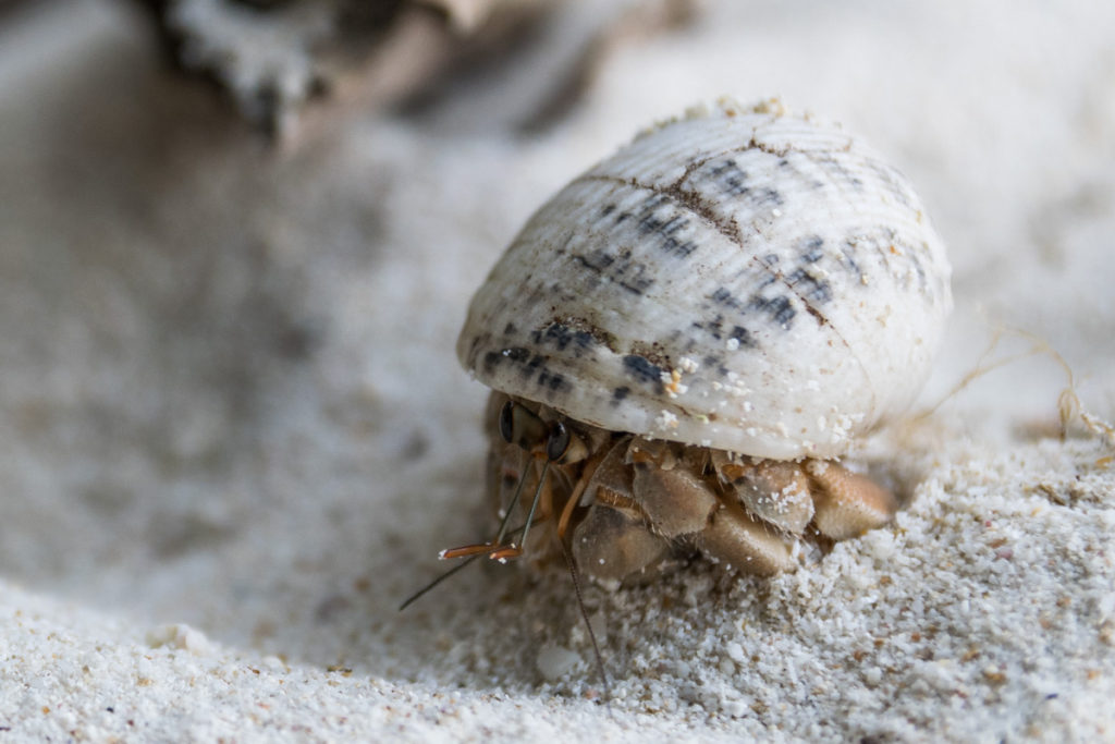 Hermit Crab, Koh Wai, Thailand