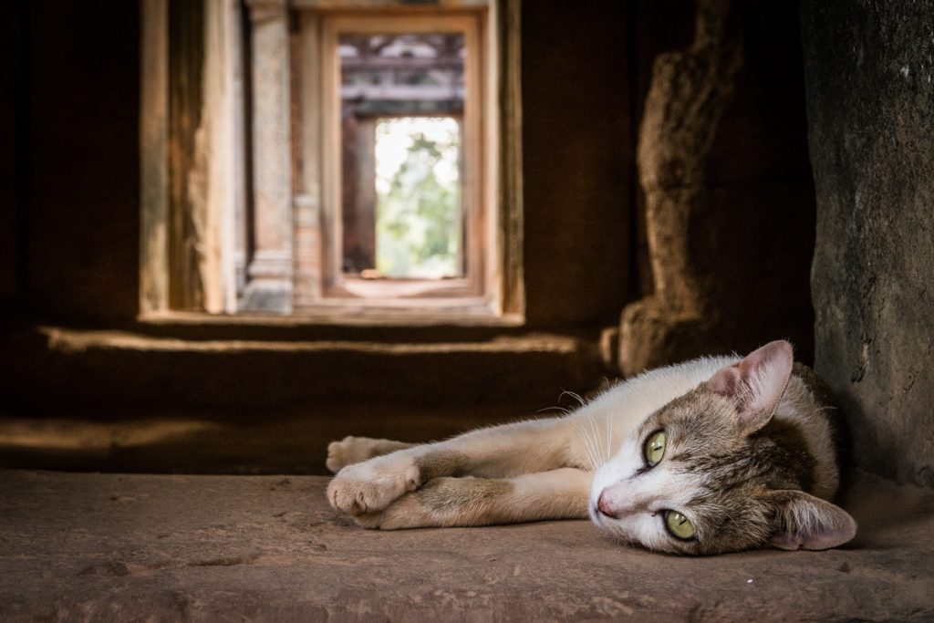 Cat at Banteay Samre temple