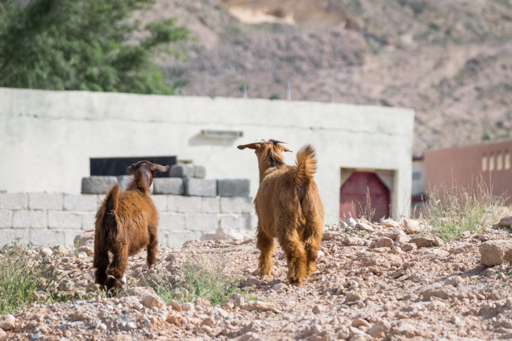 Goats at Bimmah, Oman
