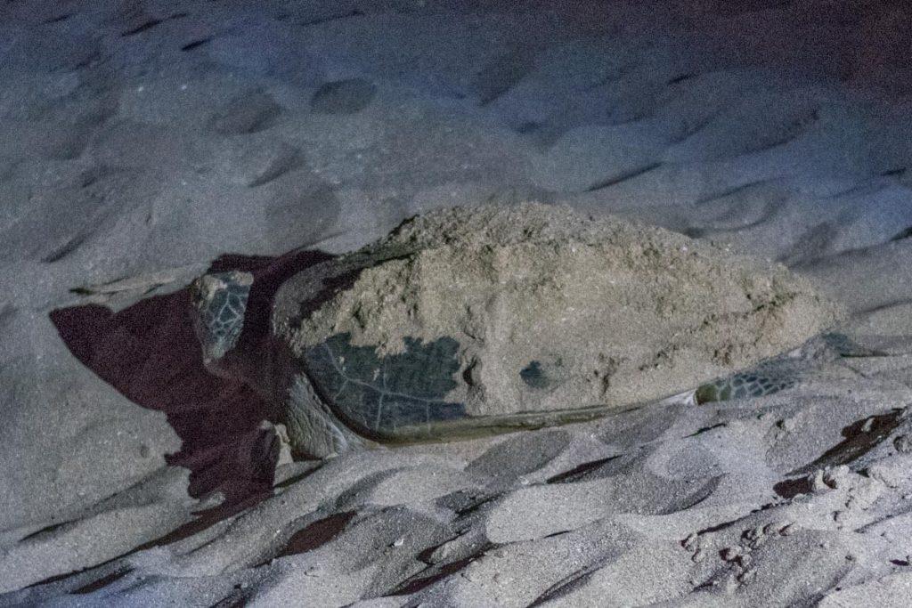 Turtle at Raz Al Jinz, Oman