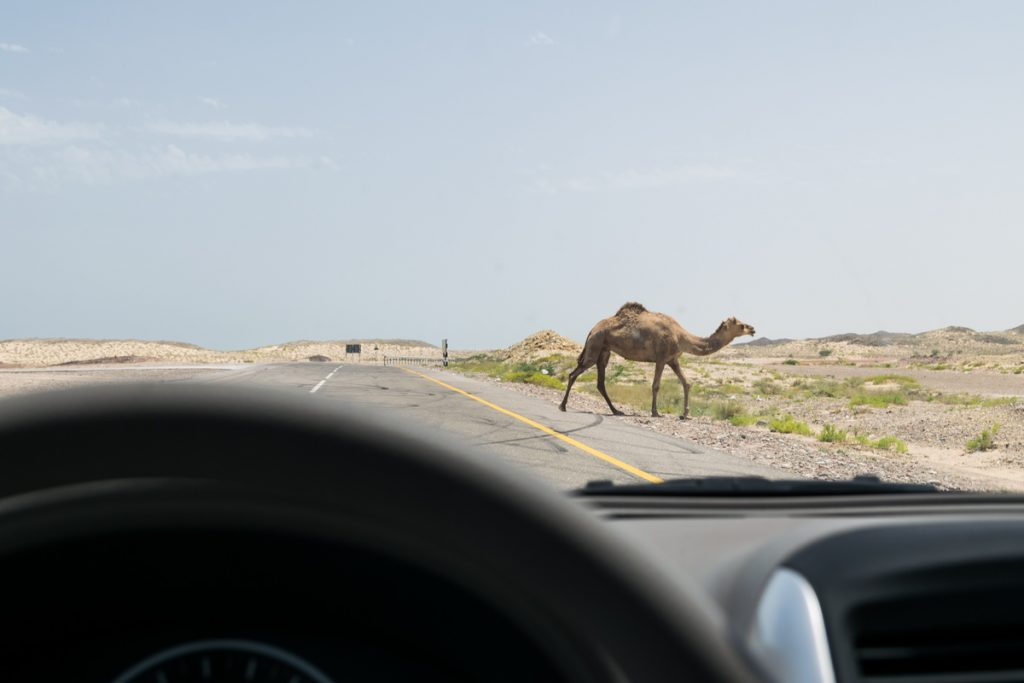 Camel on paved road through Sharqiya (Wahiba) Sands