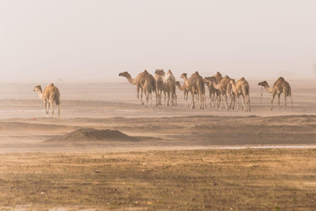 Camels, Sharqiya Sands