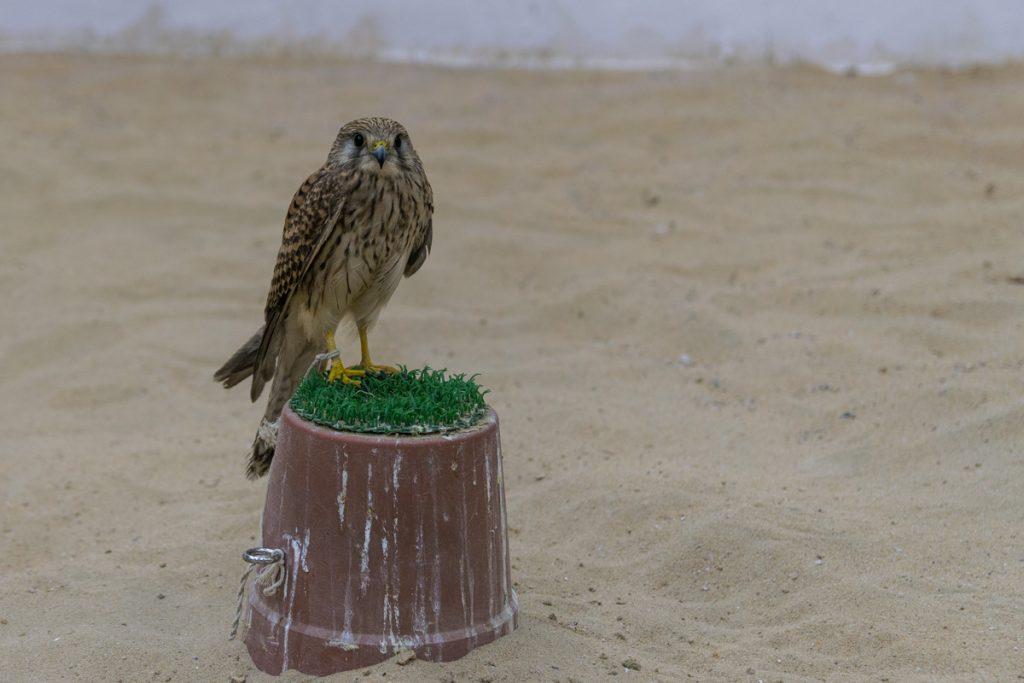 Falcon Souq, Doha
