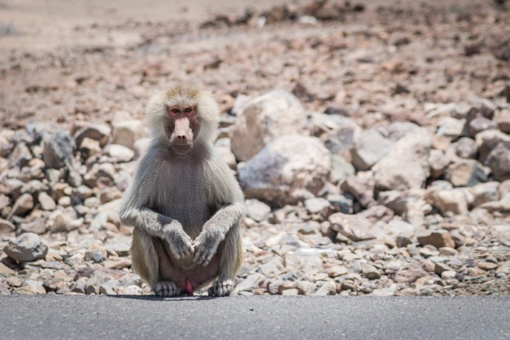 Monkey on the side of the road, Djibouti