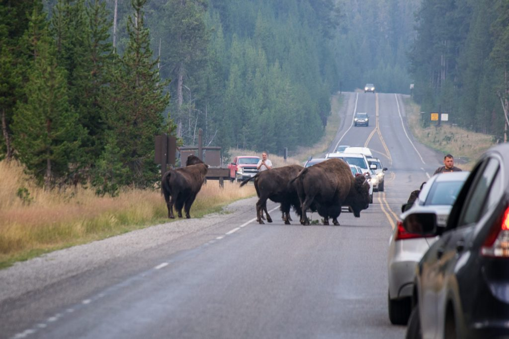 Herd of bison, Yellowstone National Park