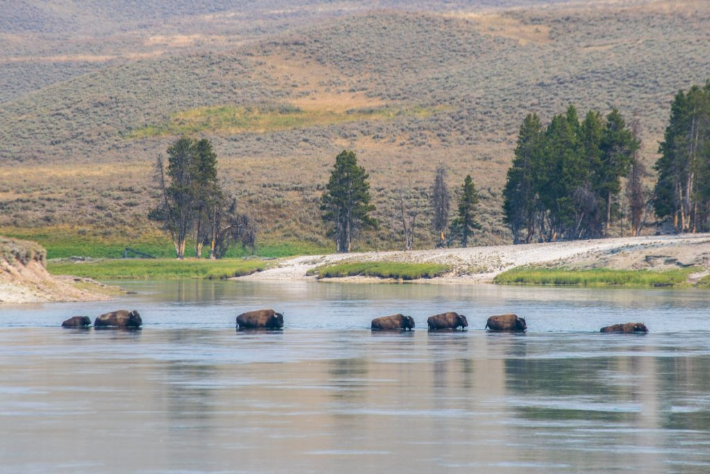 Herd of bison at Hayden Valley, Yellowstone National Park