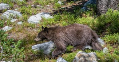 Young Bear in Grand Teton National Park