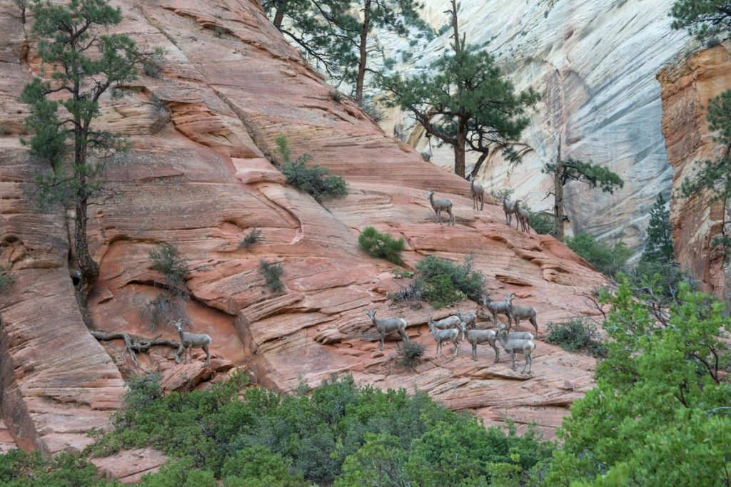 Bighorn sheep on Observation Point Trail, Zion National Park